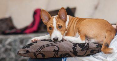 Raças de cachorros para criar em apartamento